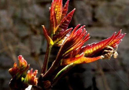 香椿红的好还是绿的好 香椿和臭椿的区别