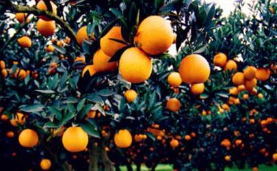 柑橘采收前如何浇水施肥 柑橘施肥哪些是要注意的