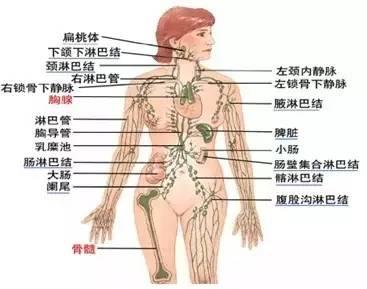 人体淋巴结分别在哪个部位